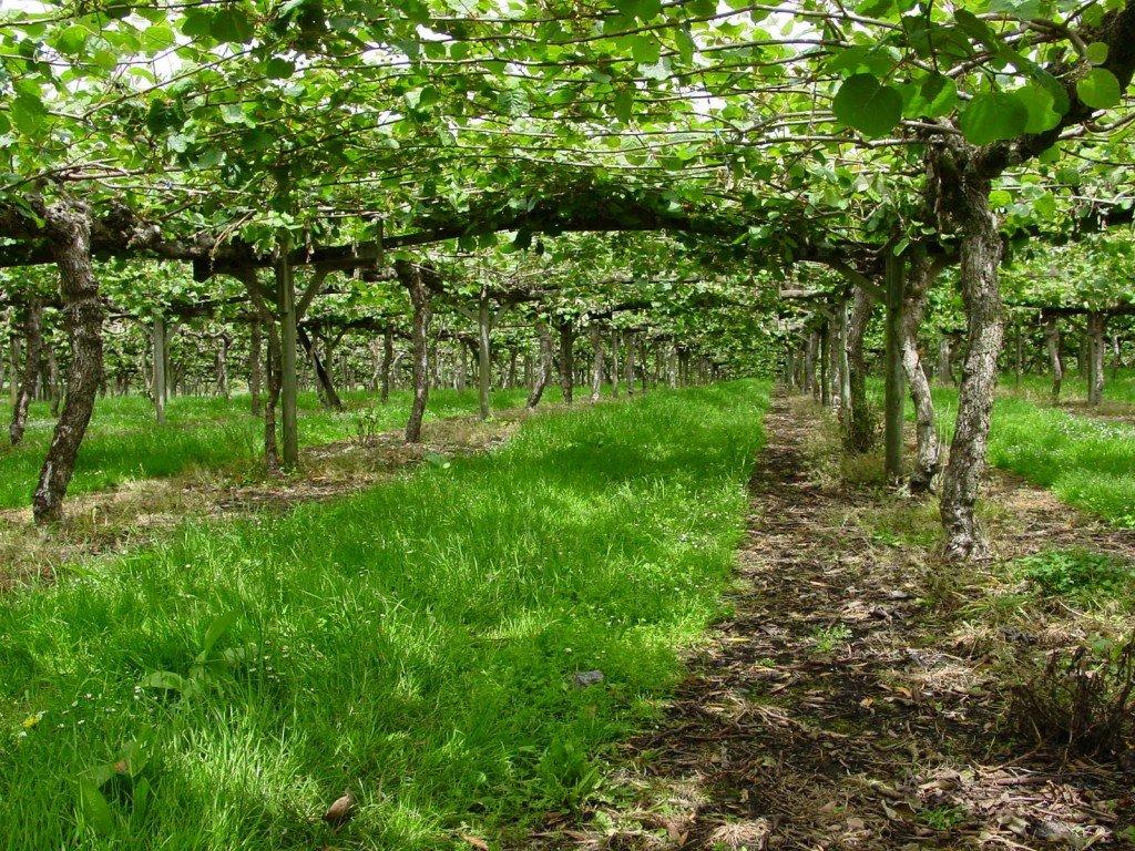 Superior ou pousse les kiwi 11 plantation de kiwis but du boulot nu0027en laisser que 3 par - Comment pousse les kiwi ...